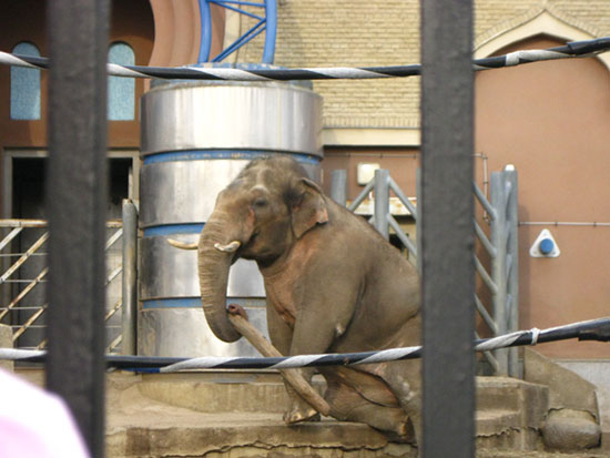 Слон в Московском зоопарке играет с бревном