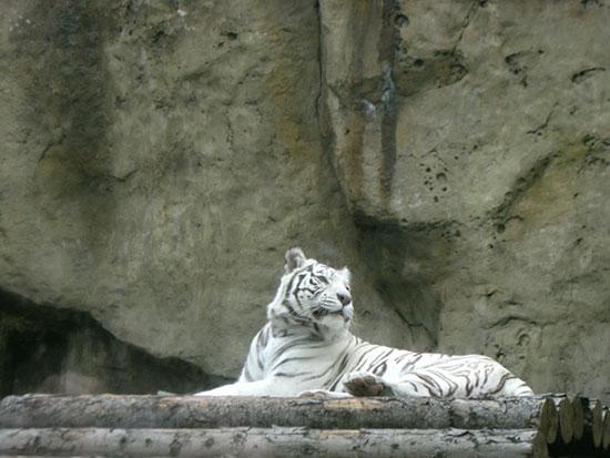 Бенгальский тигр в Московском зоопарке