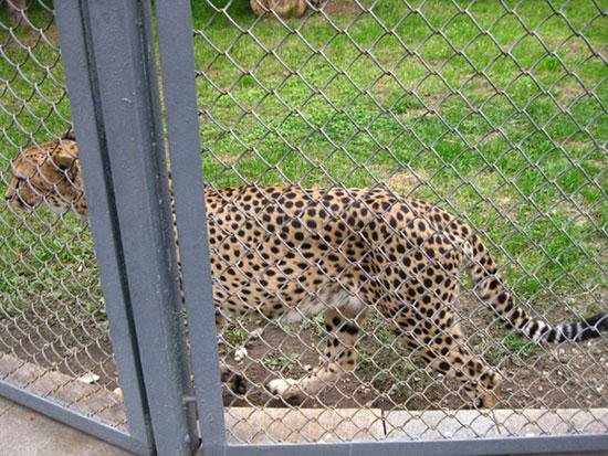 Гепард в Московском зоопарке гуляет вдоль клетки