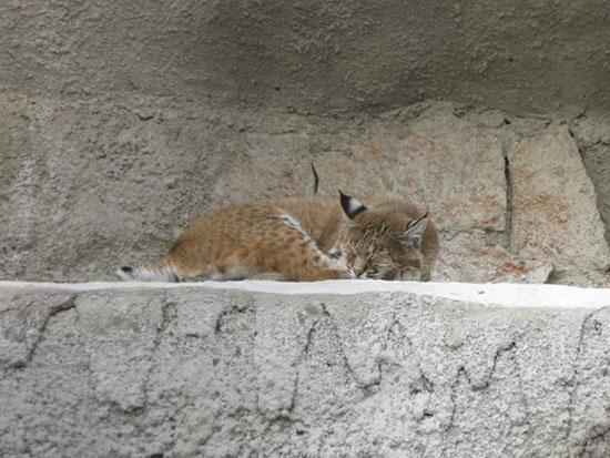 Рысь в Московском зоопарке