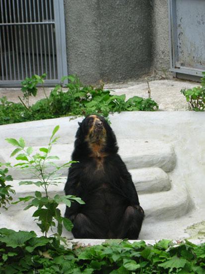 Очковый медведь в Московском зоопарке