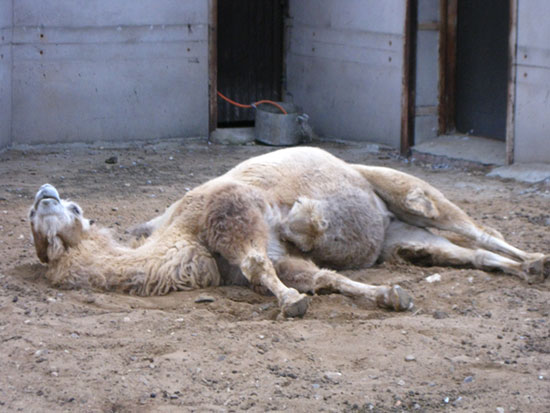 Верблюд в зоопарке любит поспать