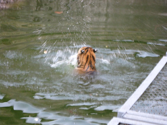 Тигр в Московском зоопарке не боится воды, он любит купаться