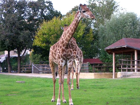 Жираферы в Московском зоопарке