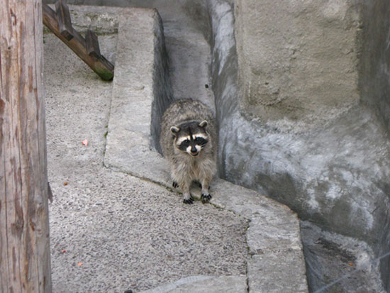Енот полоскун в Московском зоопарке