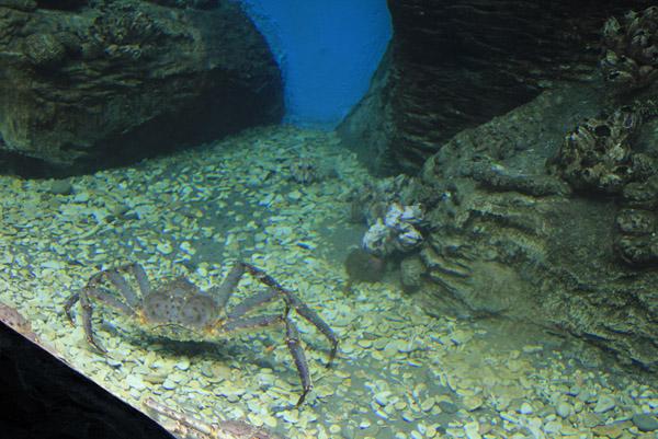 Дальневосточный краб из океанариума в ТРЦ РИО