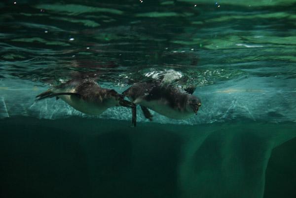 Пингвины в океанариуме на Дмитровском шоссе
