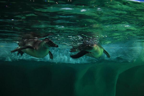 Пингвины в океанариуме в ТРЦ РИО